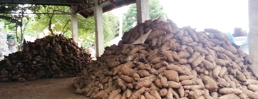 Piles of the most expensive root crop, yam or ube being  displayed inside the postharvest facility funded by Department of Agriculture –HVCDP XI, during the harvest festival conducted recently in GK San Antonio, Catigan, Toril, Davao City.